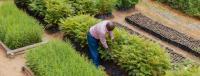 Cultivar árboles ayuda a los agricultores del condado de Makueni, en Kenia, a prosperar. Crédito de foto: Peter Irungu / WRI